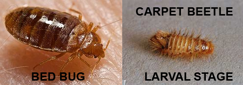 Black Carpet Beetles Vs Bed Bugs Carpet Vidalondon